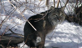 New Hampshire Bobcat Presentation Thursday, May 8th at 6:30 PM
